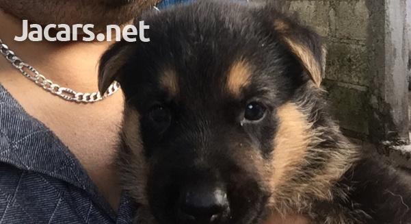 German Shepherd Pups-1