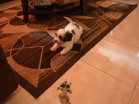 Shih Tzu x pormaraina mix 8week old male