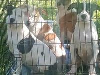 Purebred American bulldogs