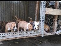 Bulldog mix puppies bullies