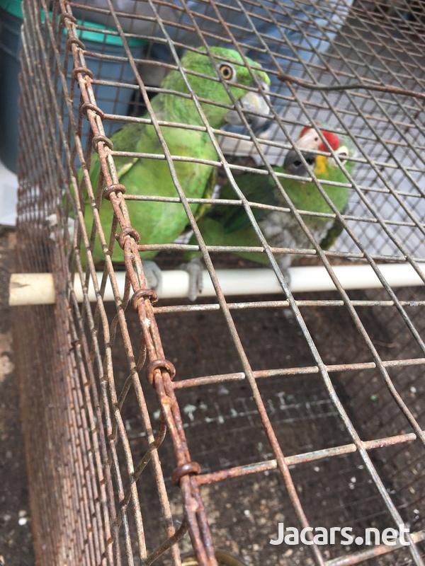 Amazon Parrot-4