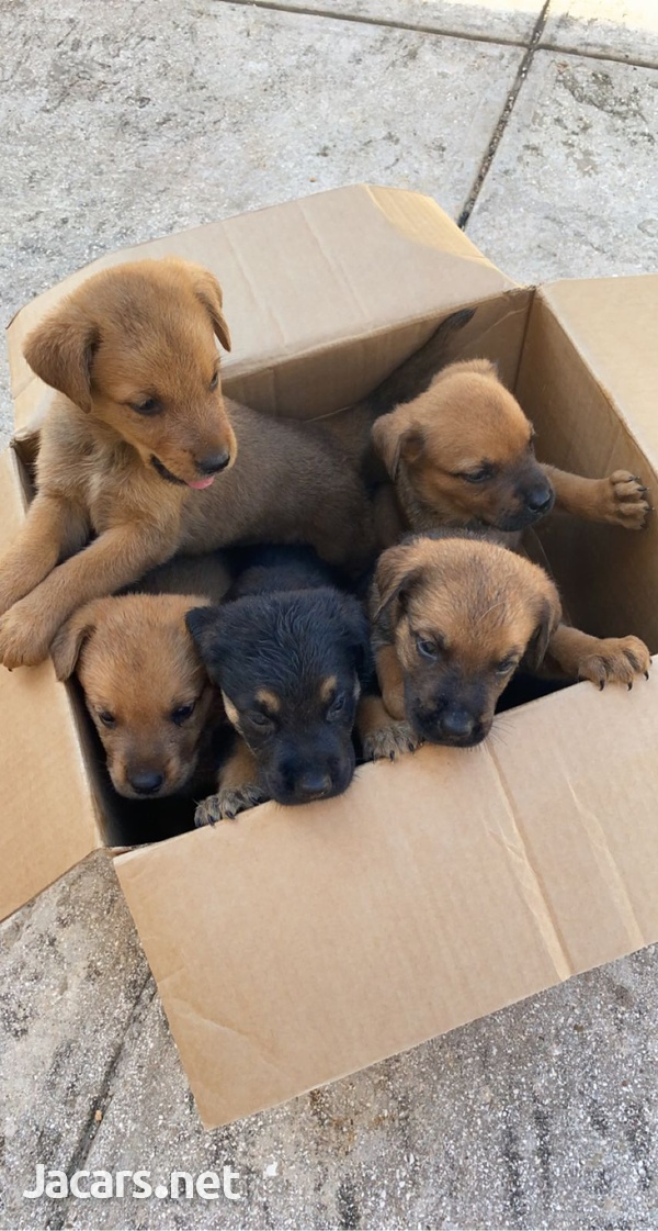Puppies Available-4