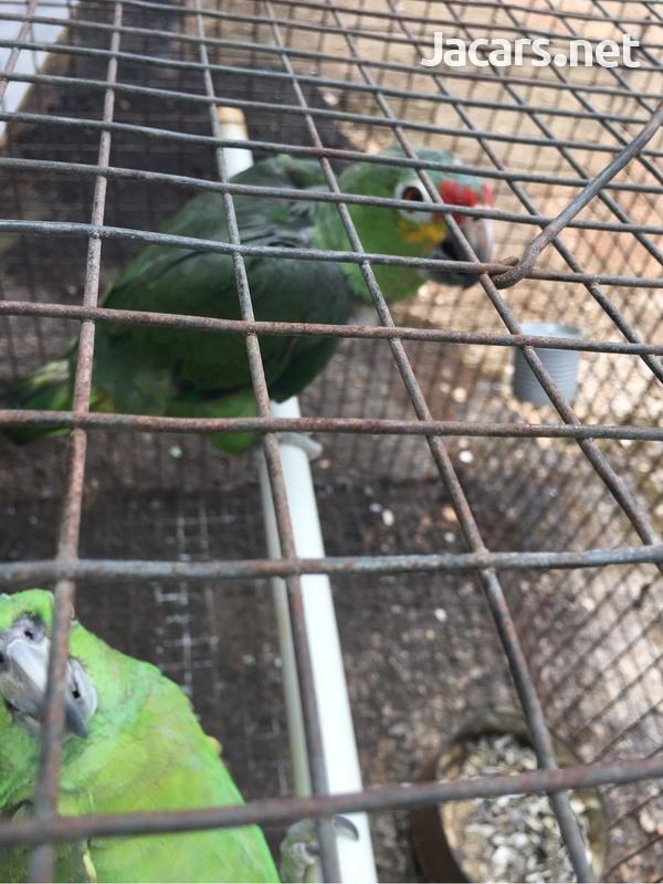 Amazon Parrot-5
