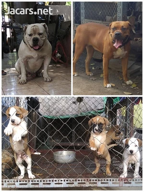 Frenchmastiff mix x Bulldog pups 21wks-2