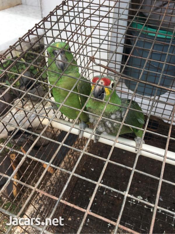 Amazon Parrot-2