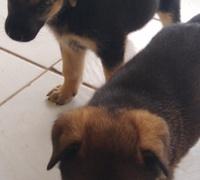 AKITA SHEPHERD PUPPIES