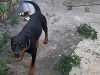 Rottweiler 3yrs old female