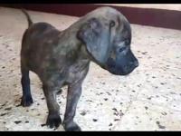 Pit Lab puppy