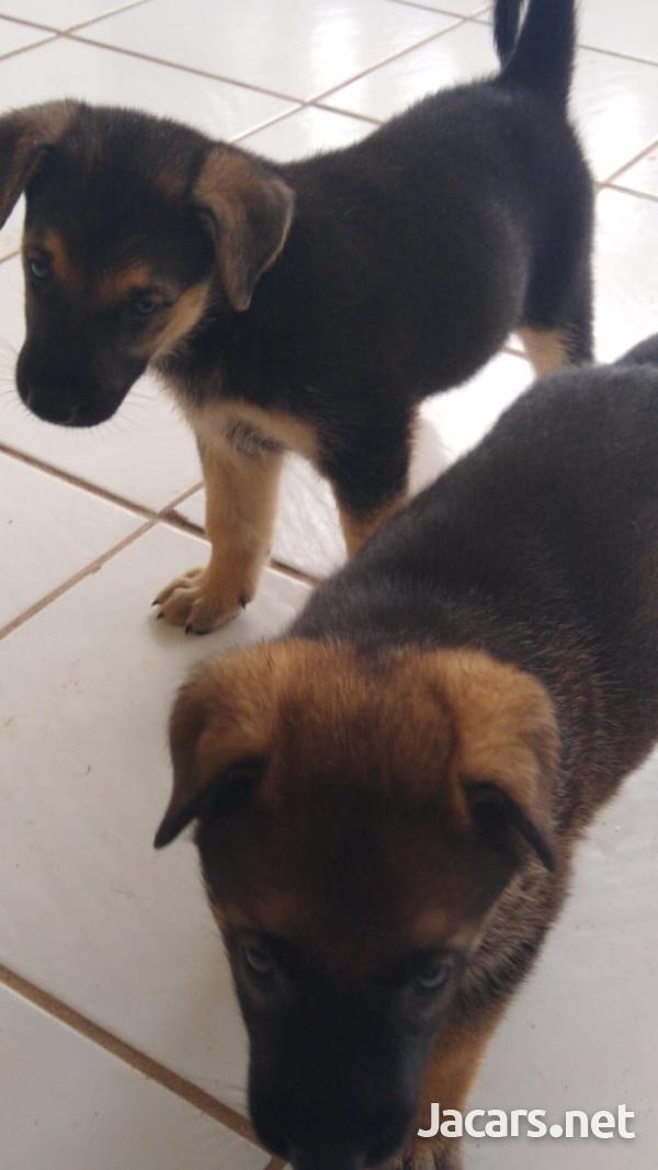 AKITA SHEPHERD PUPPIES-8