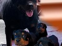 Rottweiler FOR STUD