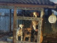Frenchmastiff mix x Bulldog pups 21wks