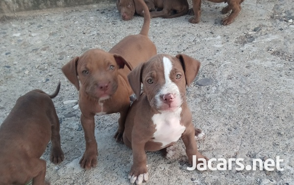 American pitbull pups forsale-4