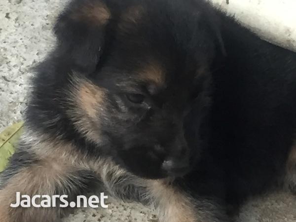 German Shepherd Pups-3