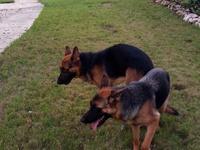 Mature Male German Shepherd 3 years old