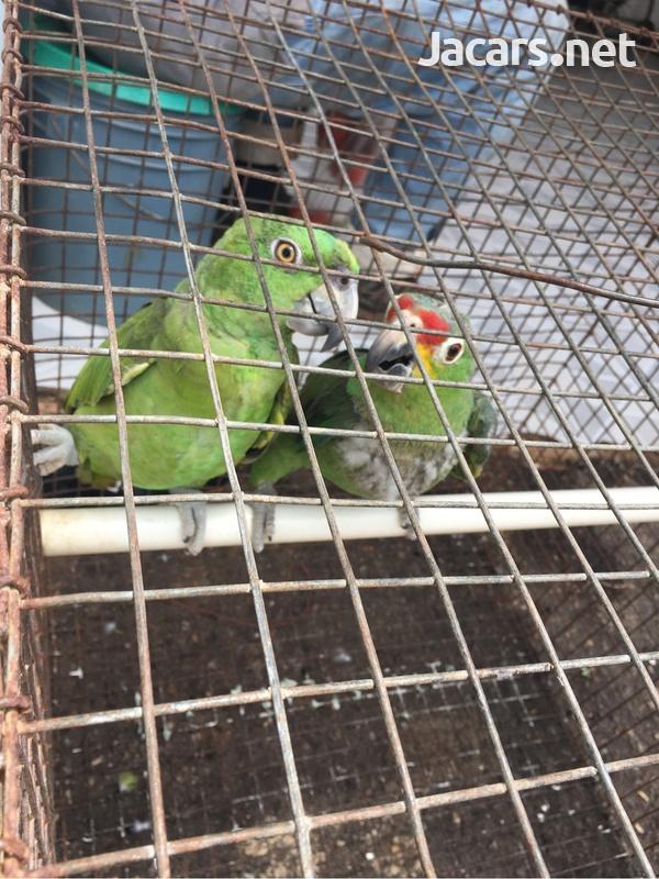 Amazon Parrot-1