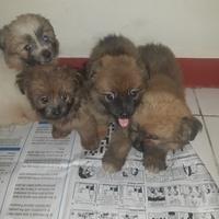 pomeranian puppies mix