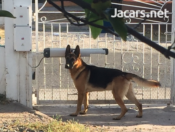German Shepherd Pups-4