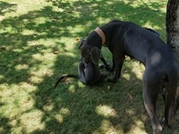 Great dane, Dog breed puppies and Adults