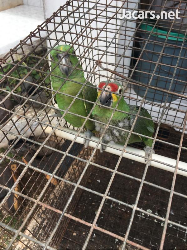 Amazon Parrot-6