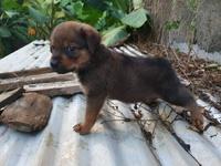 7 Week Old German Shepherd puppy mix with Roitweiler