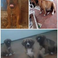 Brazilian mastiff x american bulldog mix pups