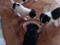 Small breed puppies Jack Russell and Shizu mixed. All female