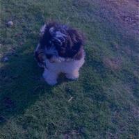 7month old shiatsu puppy with kennel