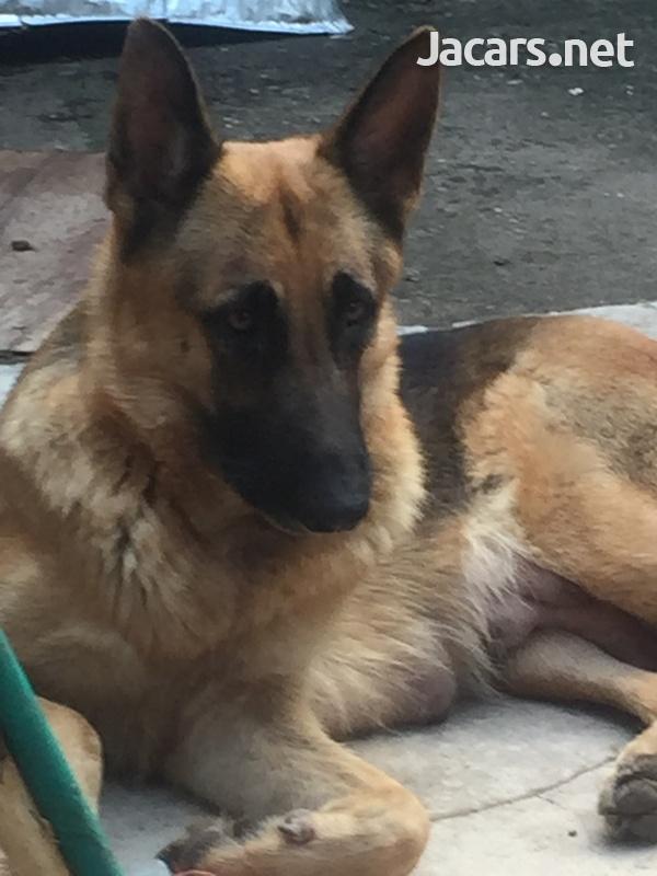 German Shepherd Pups-2